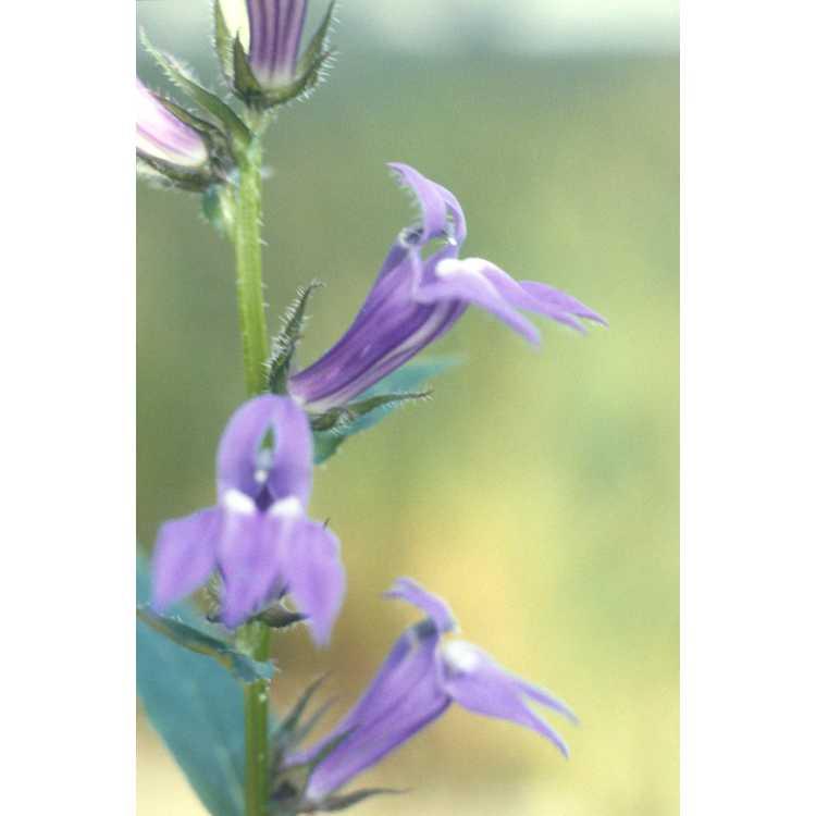 Lobelia siphilitica - big blue lobelia