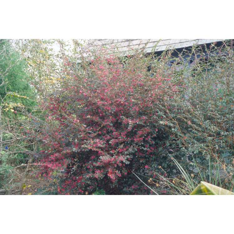 Loropetalum chinense rubrum Hines Purple Leaf Plum Delight