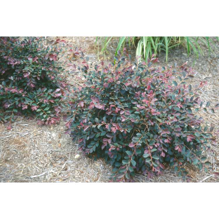Loropetalum chinense var. rubrum 'Hines Purple Leaf' - Plum Delight purple-leaf Chinese fringe-flower