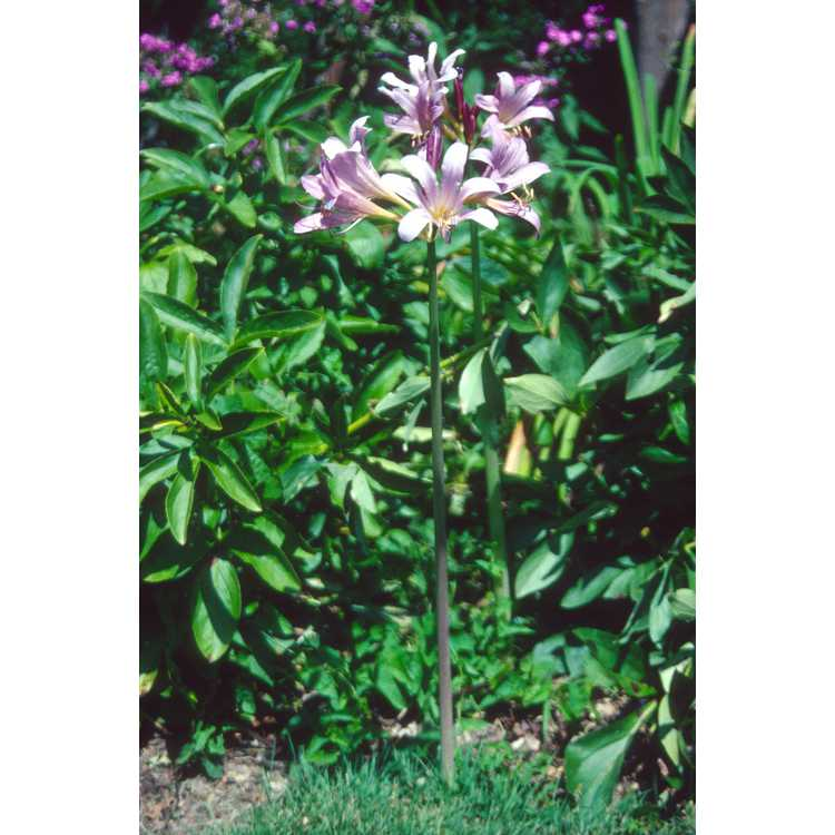 Lycoris squamigera - surprise lily
