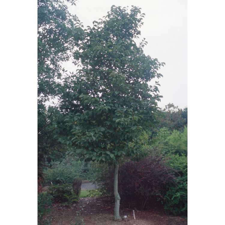 Magnolia ×brooklynensis 'Woodsman' - Brooklyn magnolia