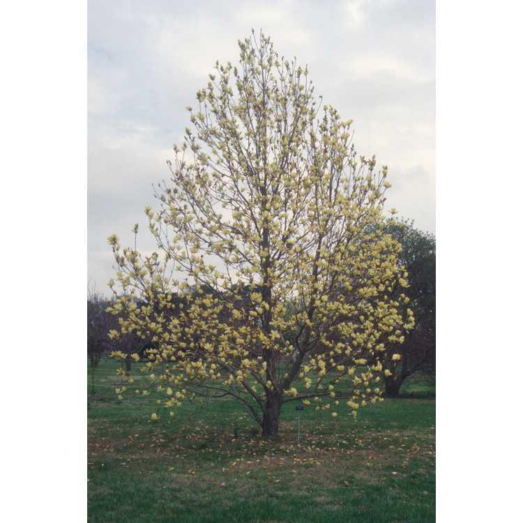 Magnolia 'Elizabeth' - yellow magnolia