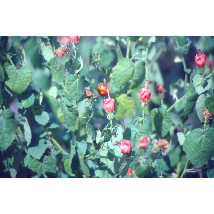 Malvaviscus arboreus var. drummondii - Turk's cap