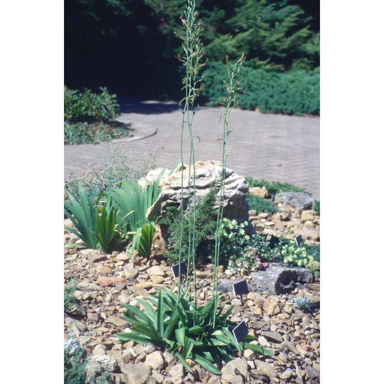Manfreda virginica - deciduous agave