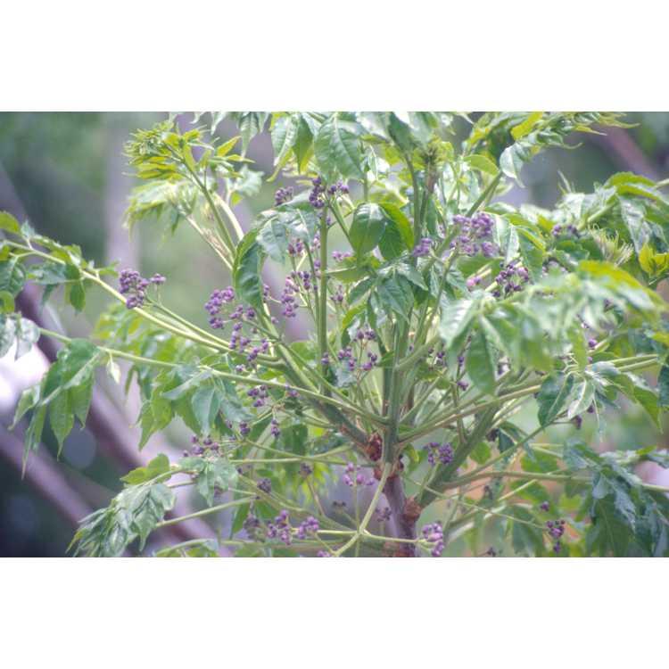Melia azedarach - Chinaberry