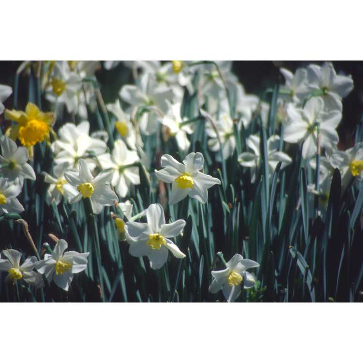 Narcissus 'Queen of the North' - daffodil