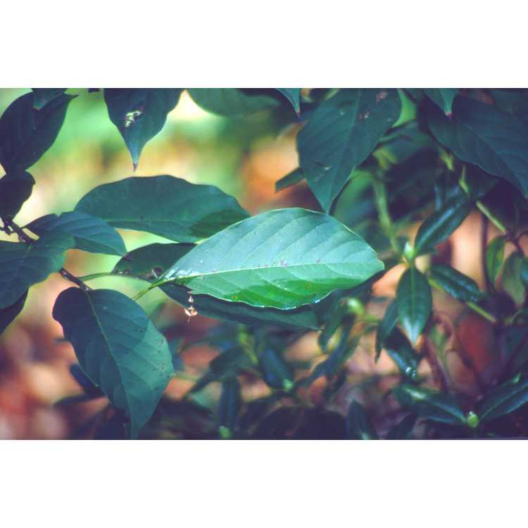 Nyssa sinensis - Chinese tupelo