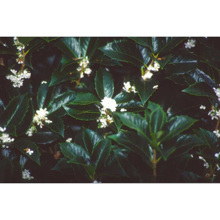 Osmanthus ×fortunei - Fortune's osmanthus