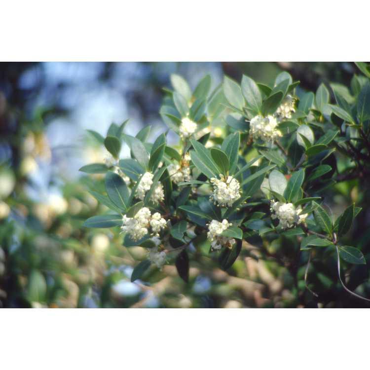 Osmanthus heterophyllus - holly tea-olive