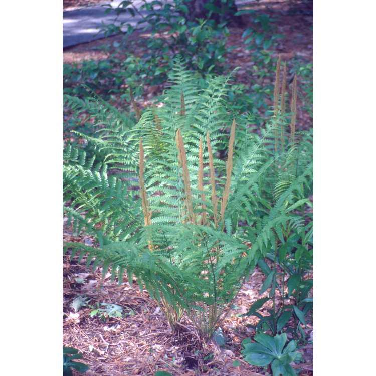Osmunda cinnamomea - cinnamon fern