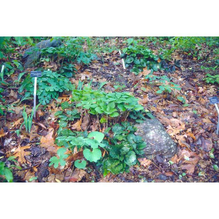 Pachysandra procumbens - Allegheny spurge