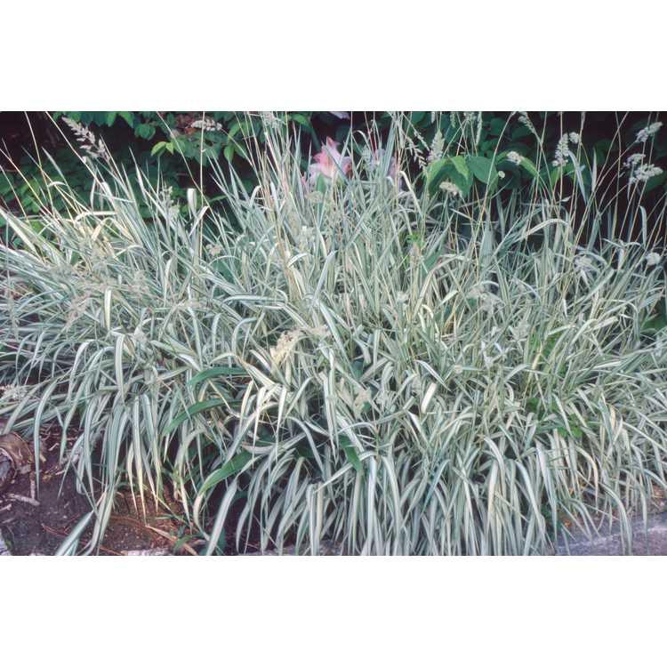 Phalaris arundinacea var. picta 'Feesey' - variegated ribbon grass