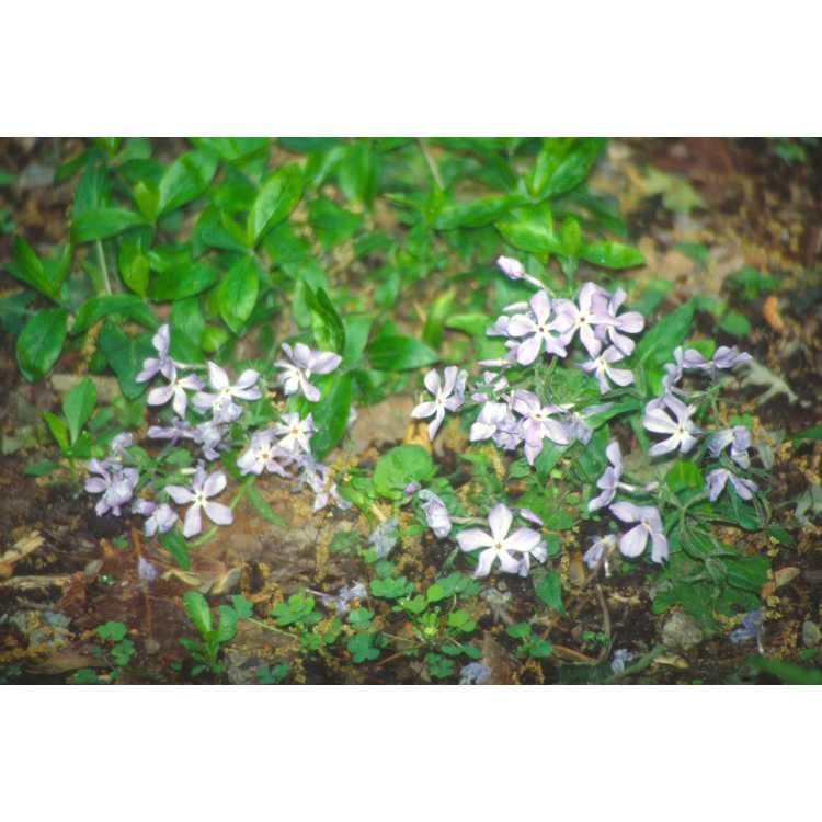 Phlox divaricata - woodland phlox