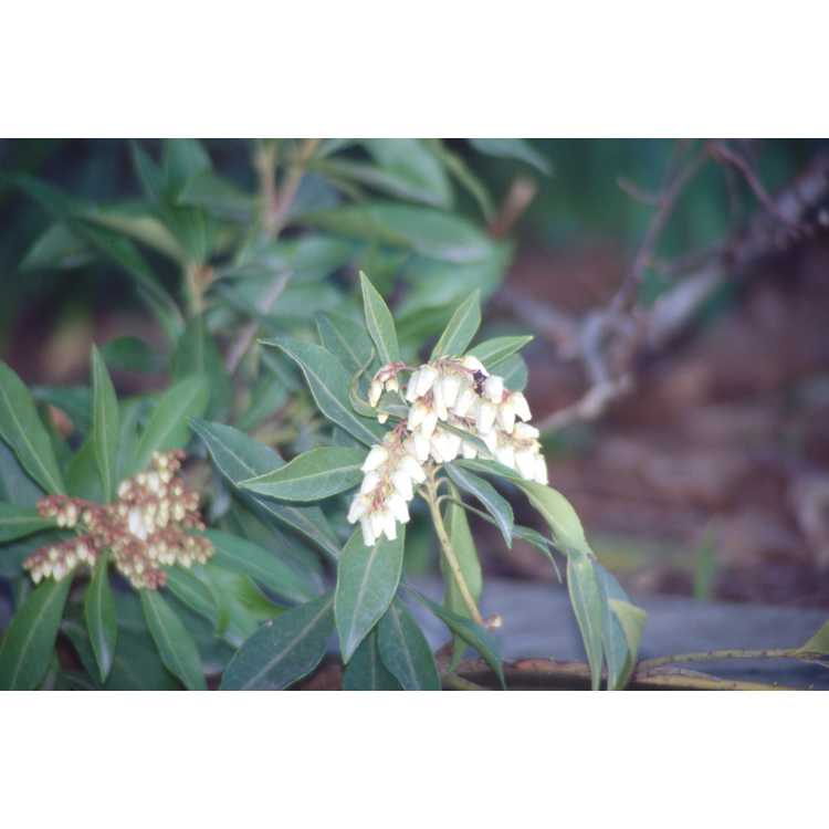 Pieris taiwanensis - Formosan pieris