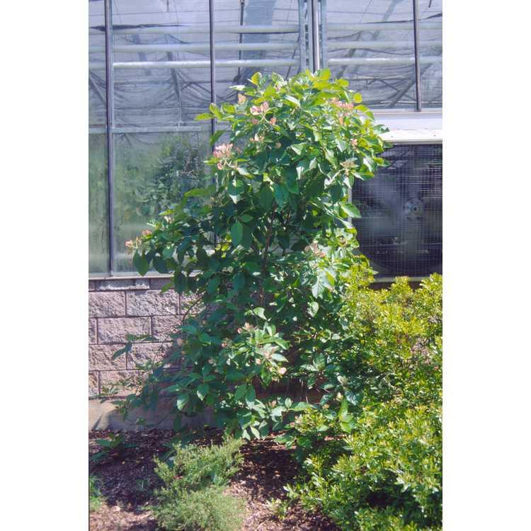Pinckneya pubens - fevertree