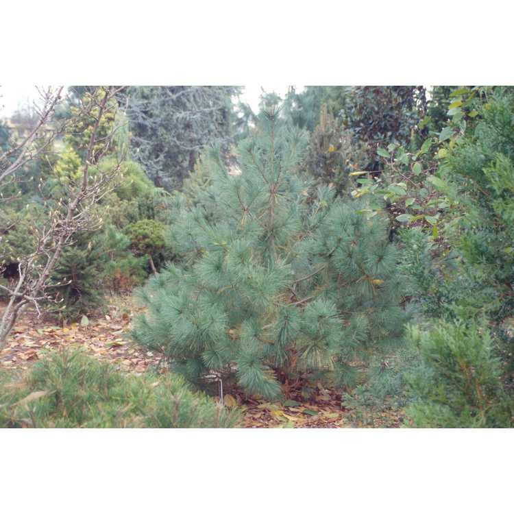 Pinus strobiformis - southwestern white pine