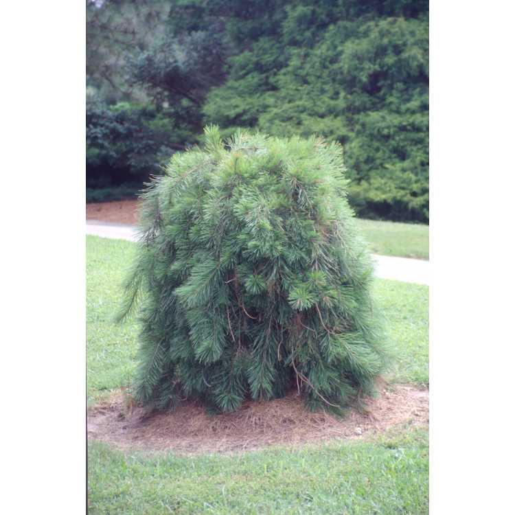 Pinus densiflora 'Pendula'