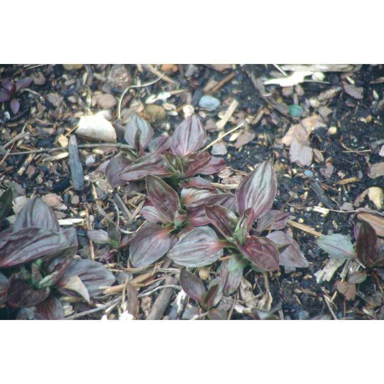Plantago major 'Rubrifolia' - purple-leaf plantain