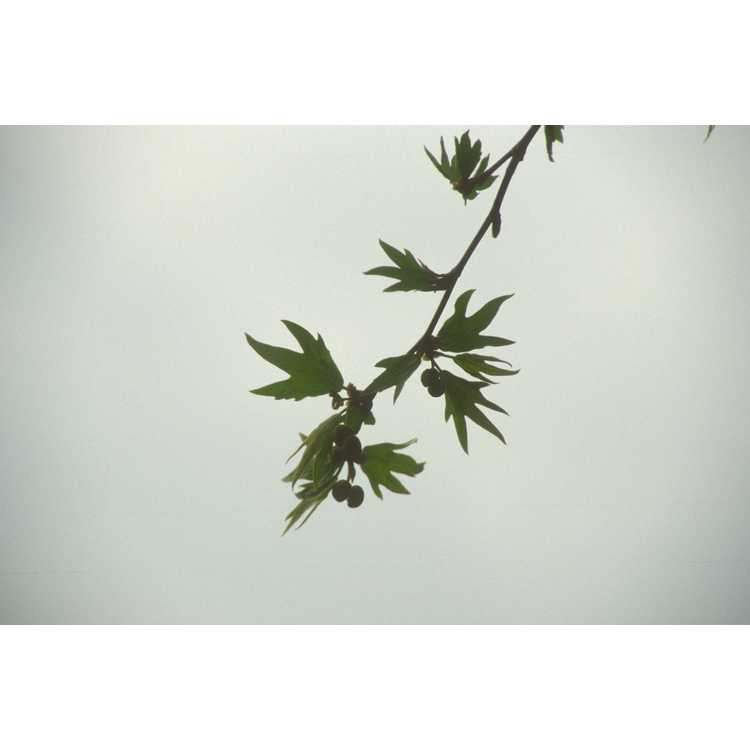 Platanus orientalis f. digitata - cutleaf Oriental planetree