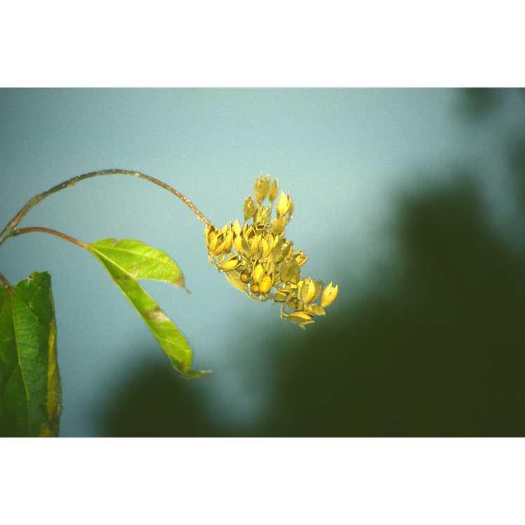 Poliothyrsis sinensis - pearl-bloom tree