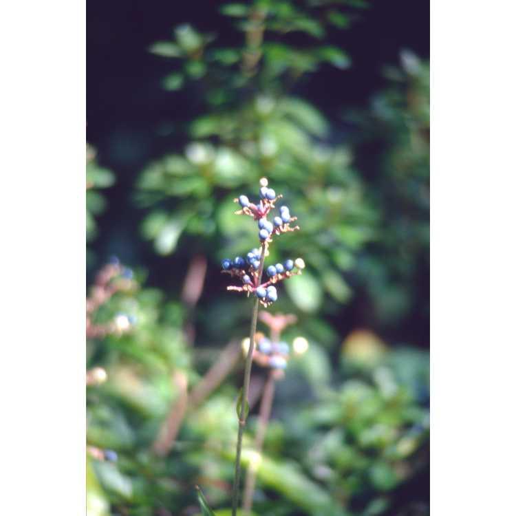 Pollia japonica