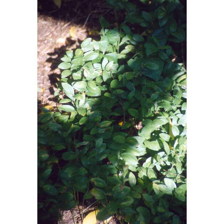 Polygonatum humile