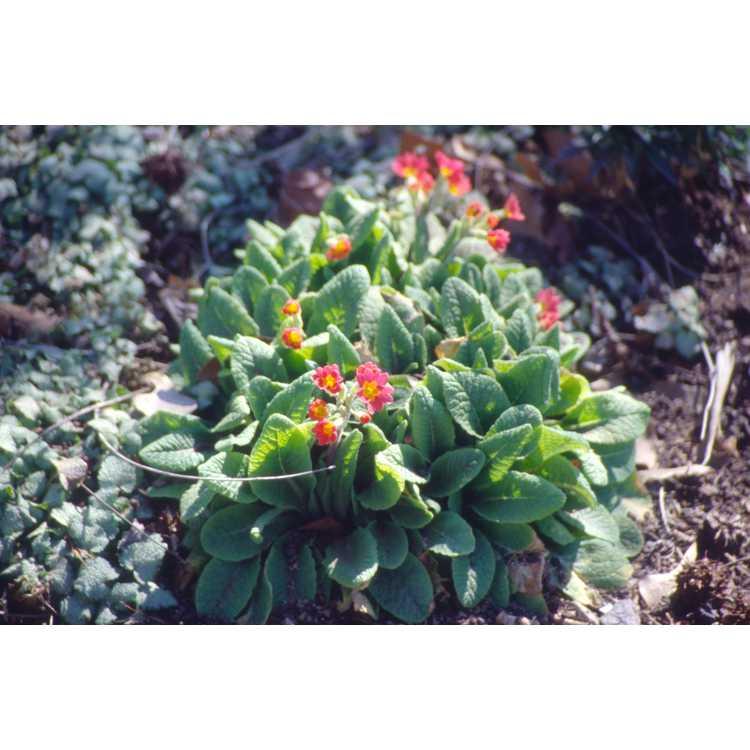 Primula 'Dale Henderson' - garden primrose