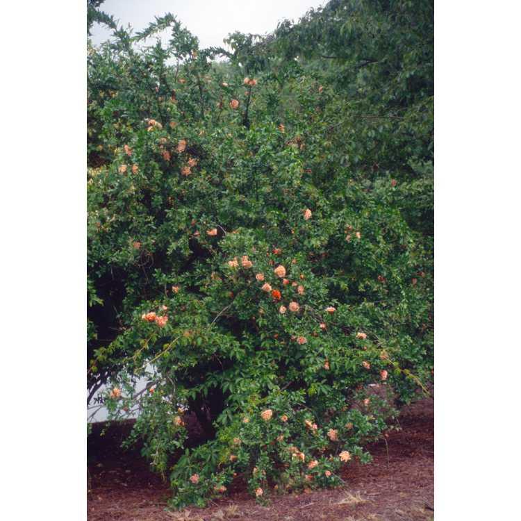 Punica granatum - common pomegranate