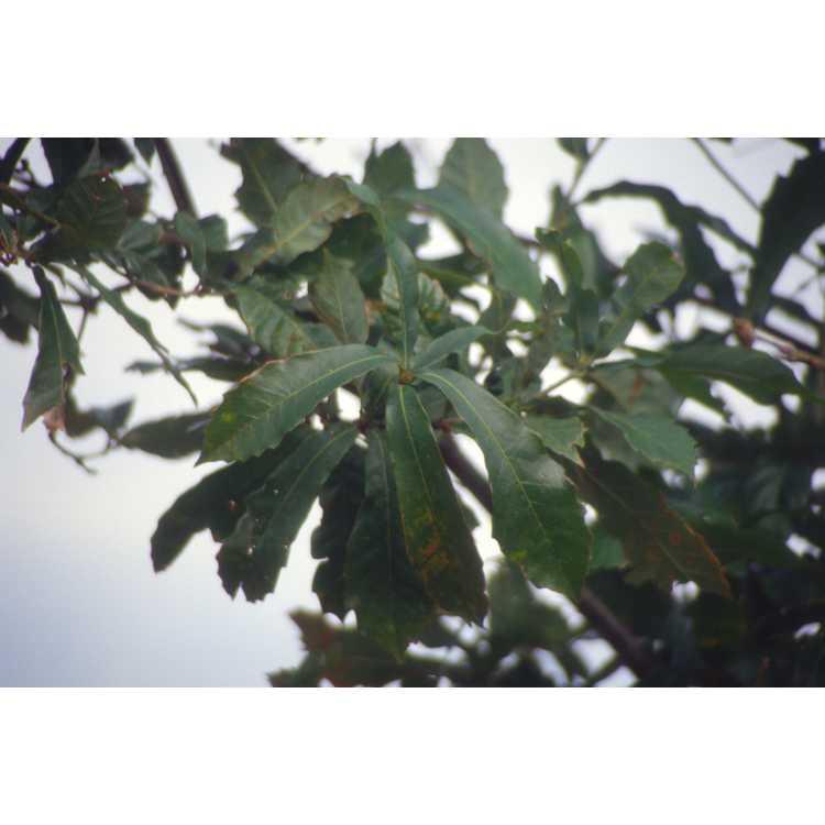 Quercus germana