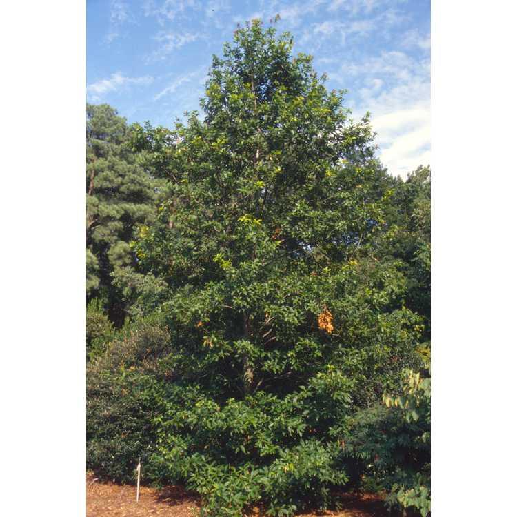 Quercus rysophylla