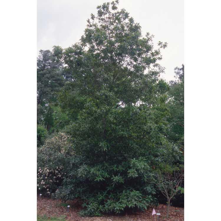 Quercus rysophylla - loquat-leaf oak