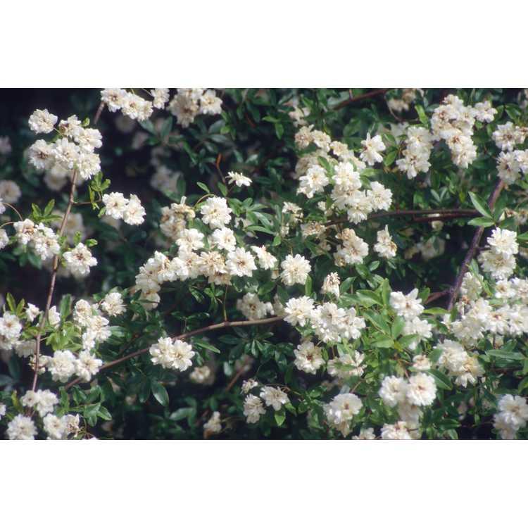 Rosa banksiae var. banksiae - Lady Banks' rose