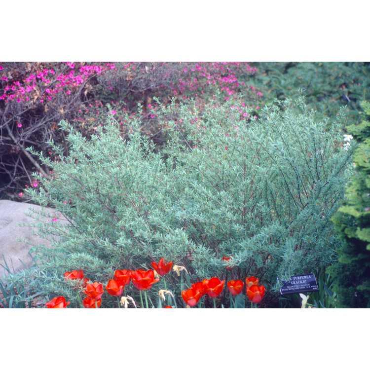 Salix purpurea 'Nana' - dwarf purple-osier