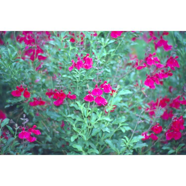 Salvia greggii 'Dark Dancer' - autumn sage