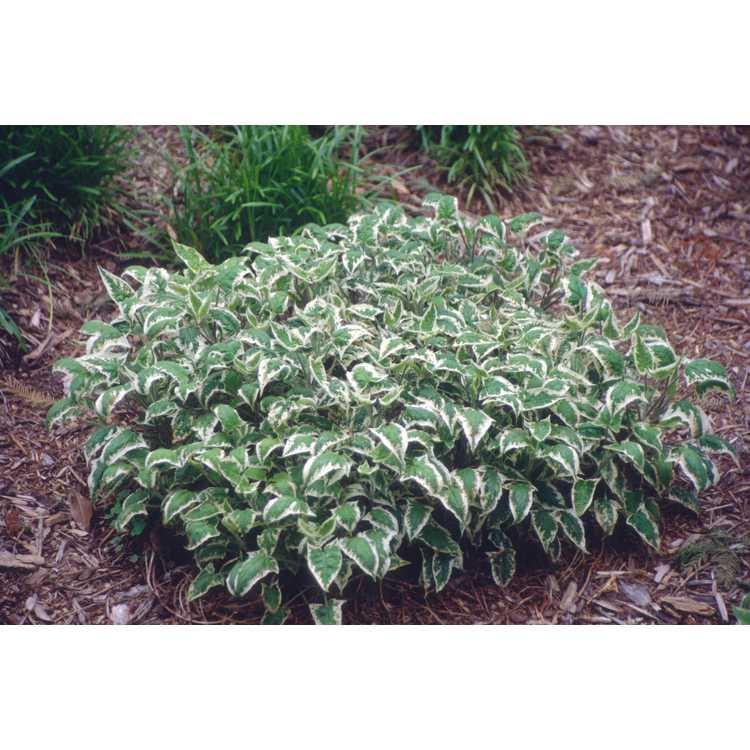 Salvia nipponica 'Fuji Snow'
