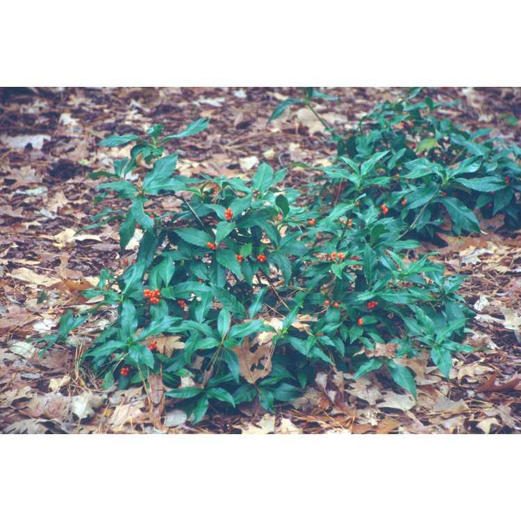 Sarcandra glabra - sarcandra