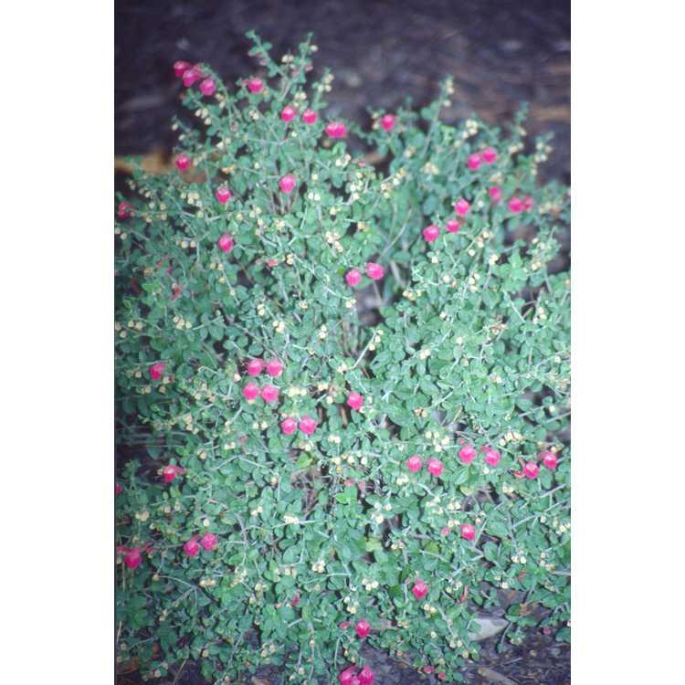 Scutellaria suffrutescens 'Texas Rose'