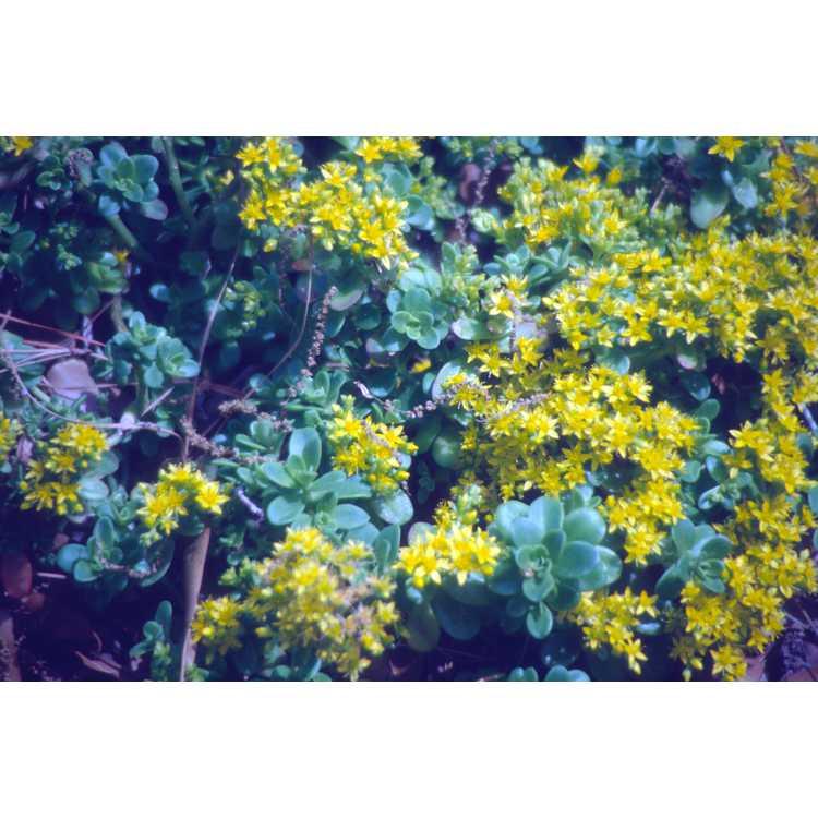 Sedum emarginatum 'Eco-Mt. Emei'