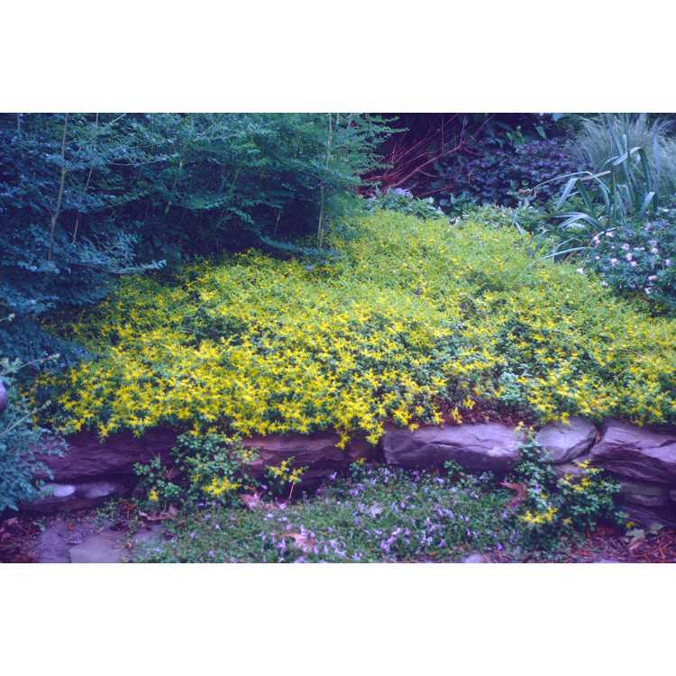 Sedum emarginatum 'Eco-Mt. Emei' - Mt. Emei sedum