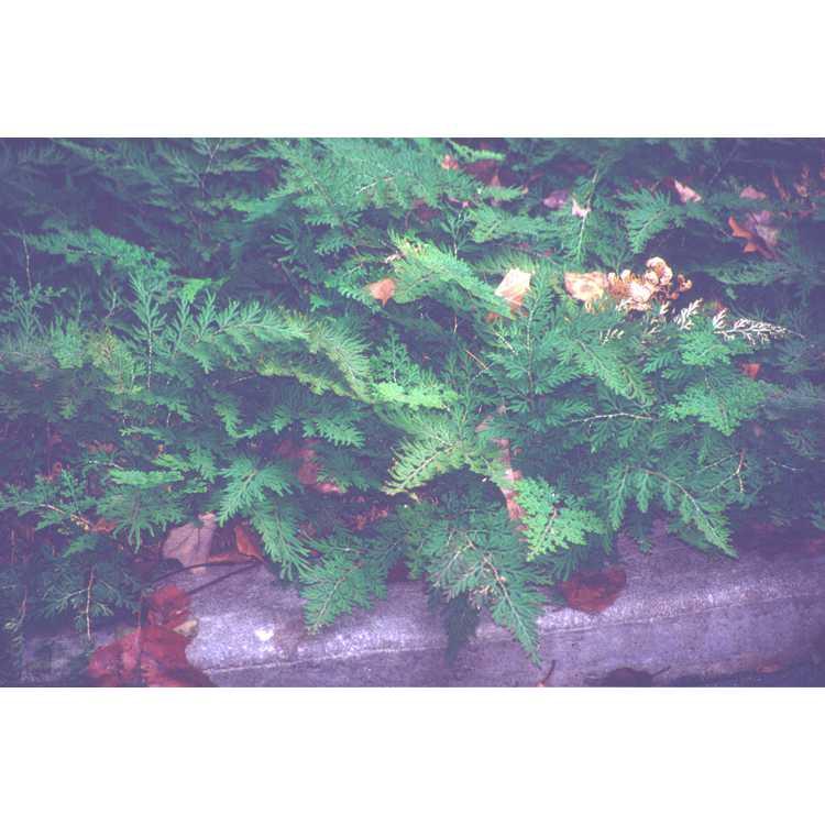 Selaginella pallescens