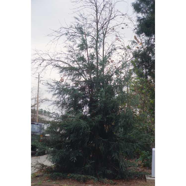Sequoia sempervirens 'Aptos Blue' - blue coastal redwood