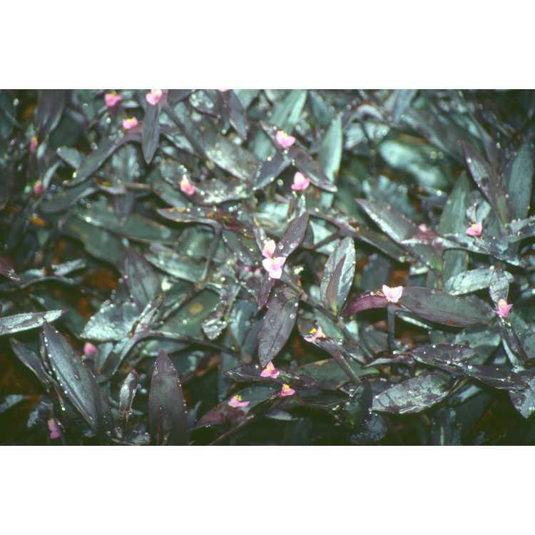 Tradescantia pallida 'Purpurea' - purple heart tradescantia