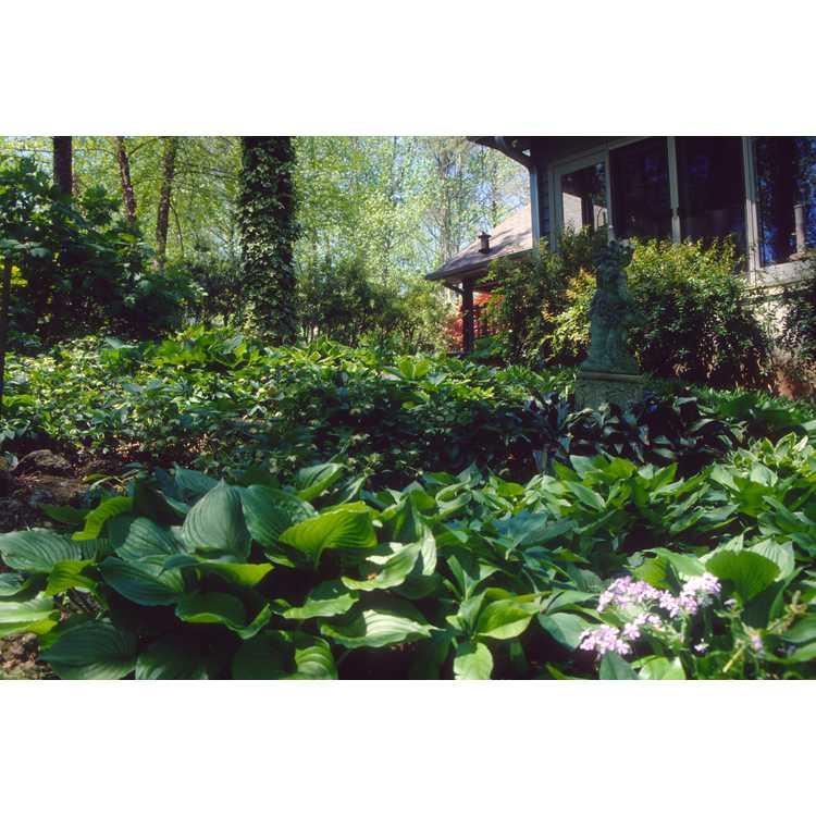 Hosta - plantain lily
