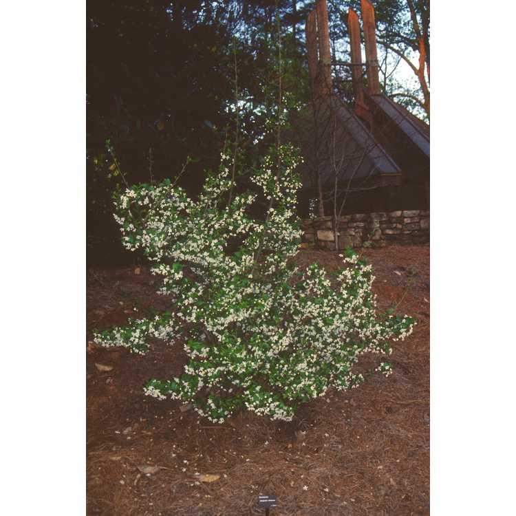 Sinojackia xylocarpa - Chinese jacktree