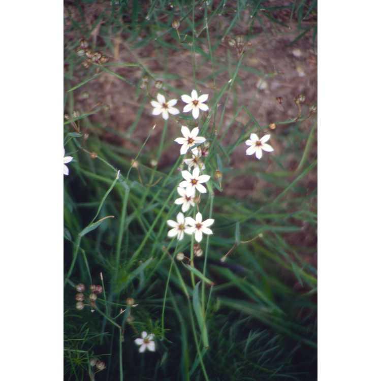 Sisyrinchium - blue-eyed grass