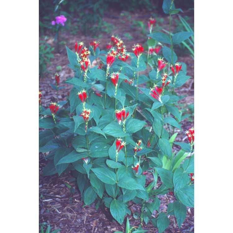 Spigelia marilandica - Indian pinkroot