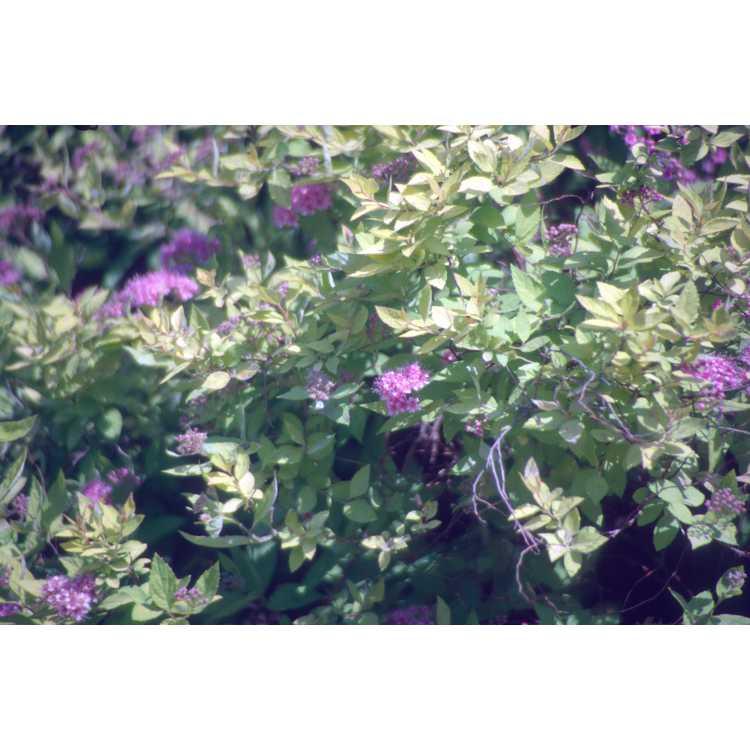 Spiraea ×bumalda 'Monby' - Limemound Japanese spirea
