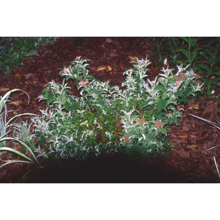 Spiraea japonica 'Dolchica' - Japanese spirea