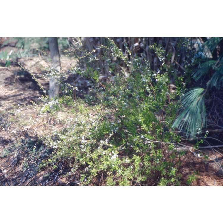 Spiraea thunbergii 'Ogon' - Mellow Yellow golden Thunberg spirea