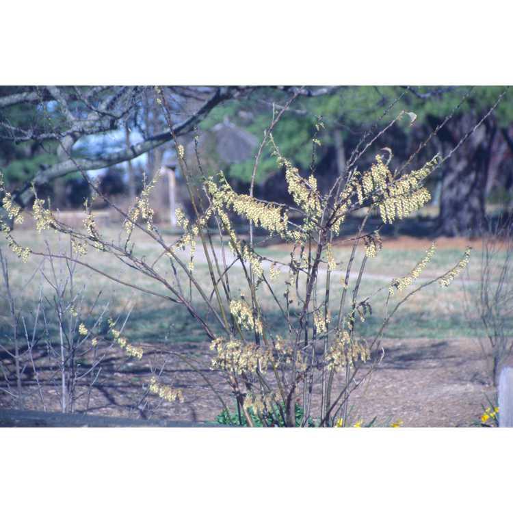 Stachyurus praecox - golden spike-tail